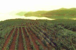 Chinese Vineyard