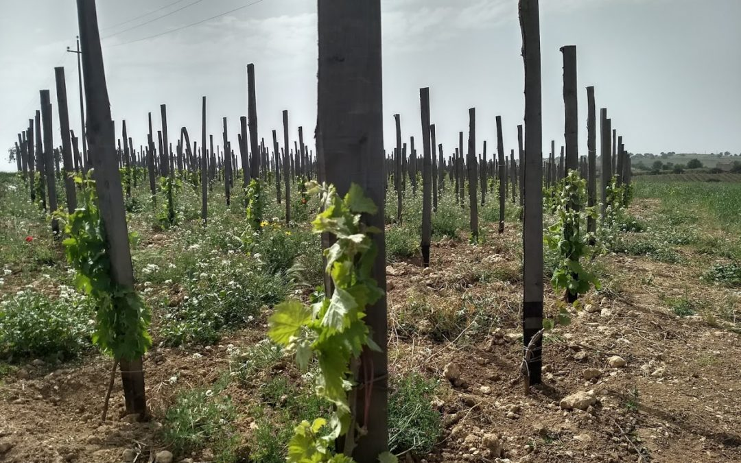 Wines of Southern Sicily