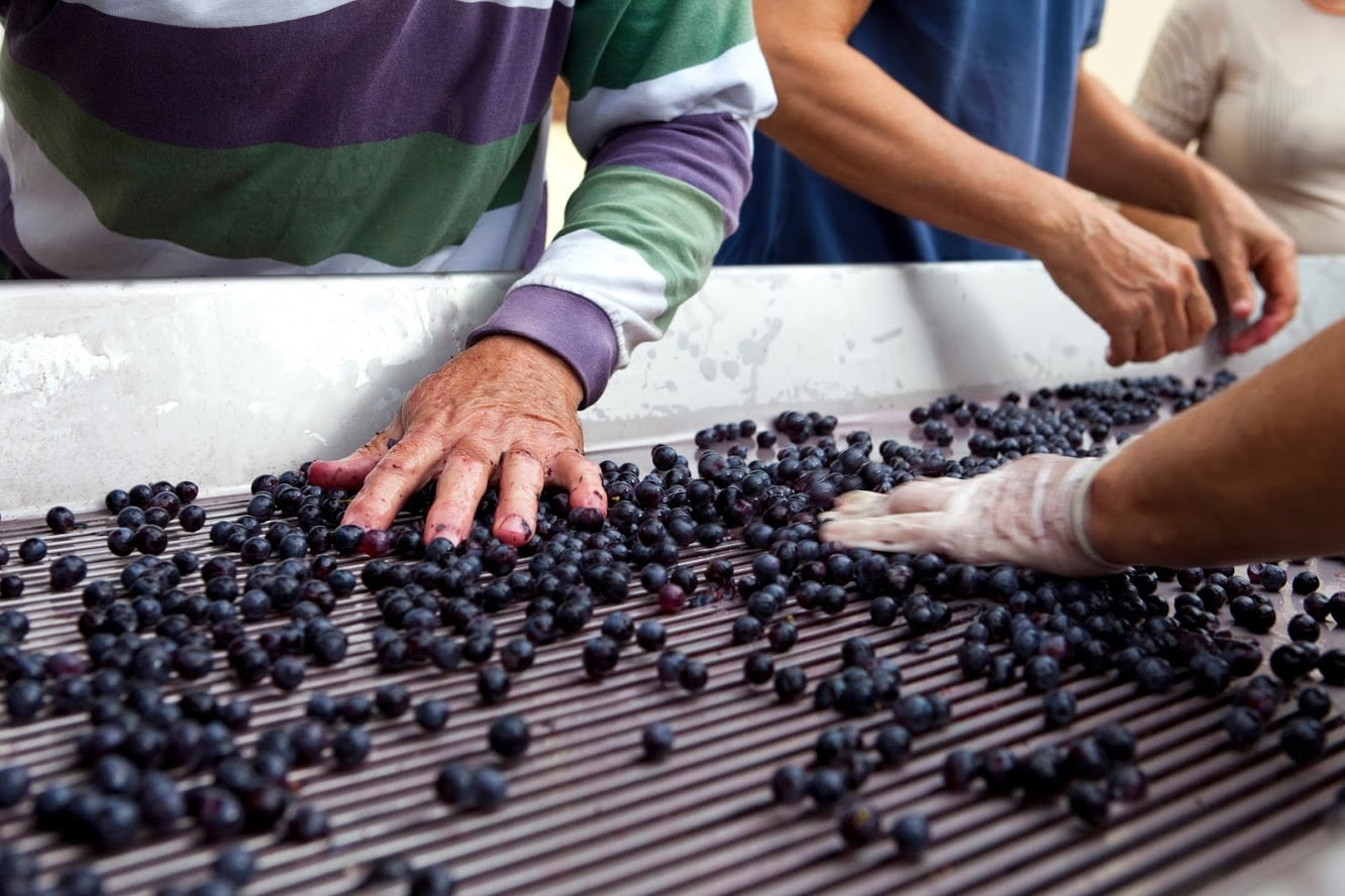 Sorting of the grapes after harvest near Bordeaux, France
