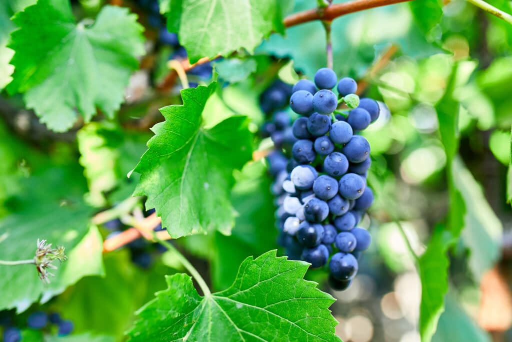 A bunch of grapes ready for picking in a vineyard, Concept of growing Ripe red grape vine ready to be picked in the fall.
