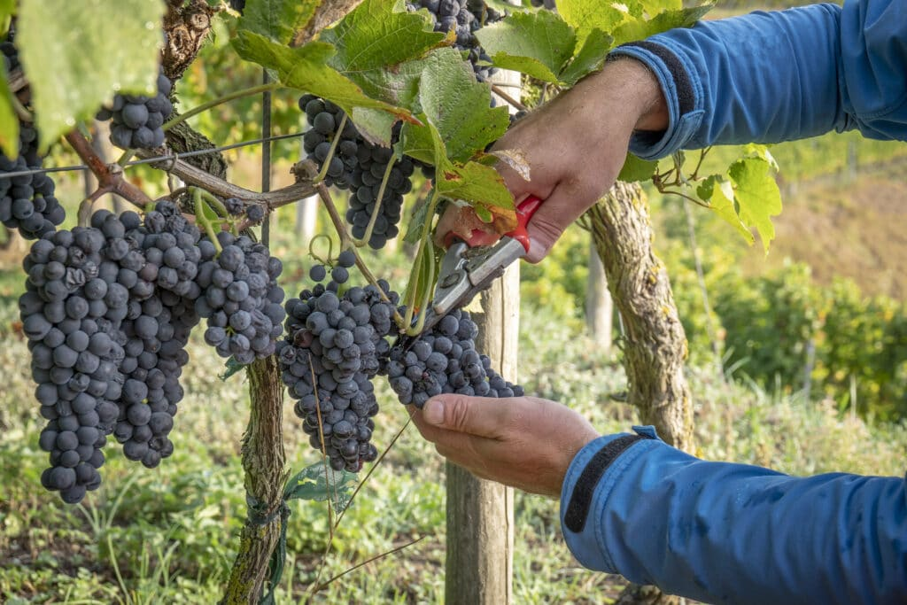 An image of a vineyard cabernet harvest