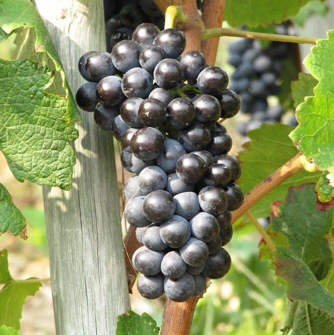 French Wine Regions: Syrah from Hermitage